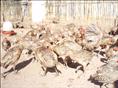 大理山鸡-60日龄山鸡-2